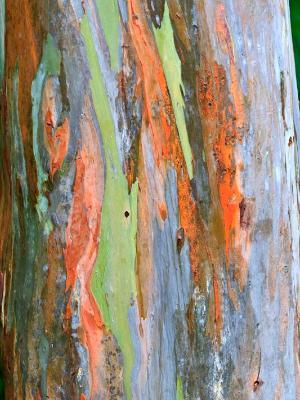 Rainbow Eucalyptus Bark
