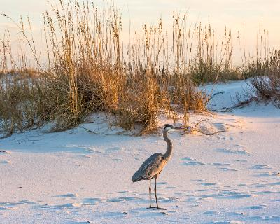 Great Blue Heron Amidst the Dunes