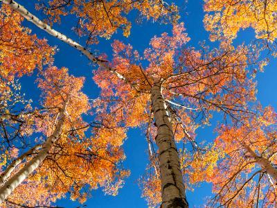 Colorful Aspen Treetops