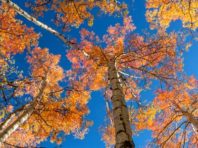 Colorful Aspen Treetops