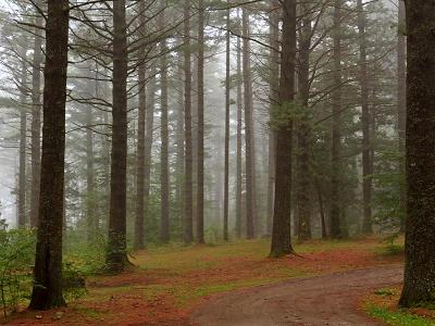 Yellow Pine Forest Fog