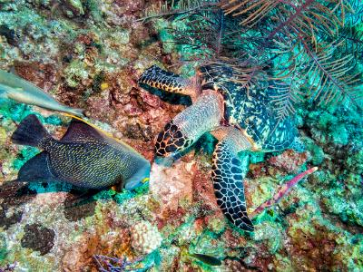 Hawksbill Sea Turtle and French Angelfish
