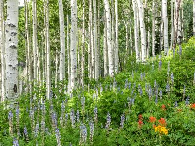 Aspen and Lupine Hillside