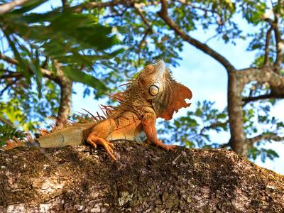 Magnificent Iguana