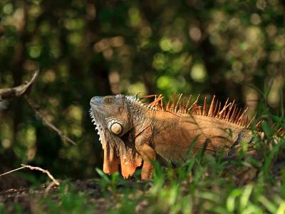 Orange Iguana with Dewlap