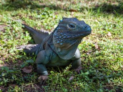 Male Blue Iguana in Shade