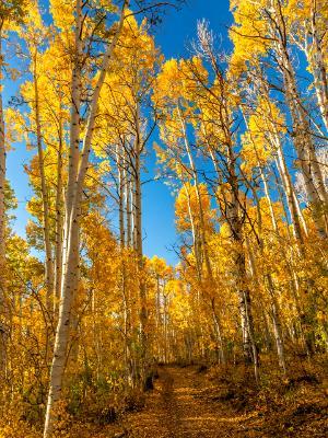 Tall Aspen Trail