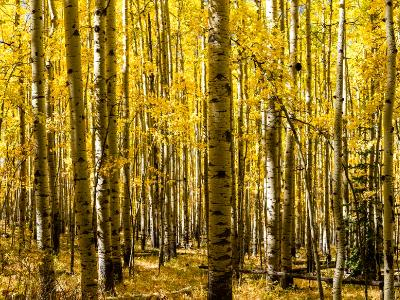 Aspen Grove Panorama in Autumn  (Click for full width)