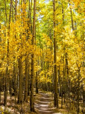 Aspens Line the Colorado Trail