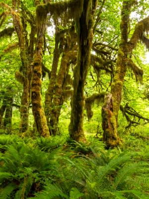 Maple, Moss and Ferns in the Hoh Rainforest