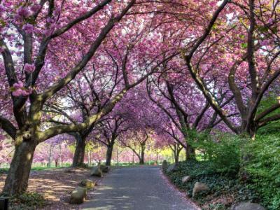 Cherry Walk in Glorious Bloom