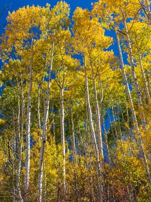 Tall Aspen Grove Sunshine