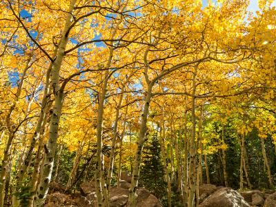 Golden Aspen Grove off the Glacier Gorge Trail
