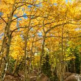 Golden Aspen Grove off the Glacier Gorge Trail