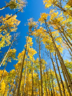 Aspens Reach for the Blue Sky