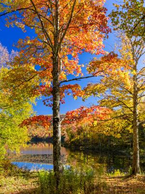 Sugar Maple Tree Foliage on Catskills Pond
