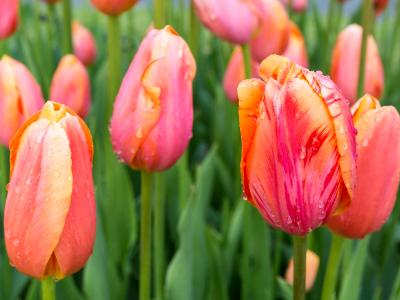 Colorful Tulips and Raindrops