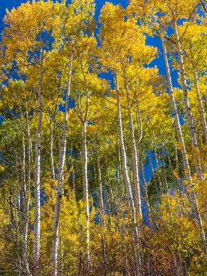 Tall Aspen Grove in Sunshine