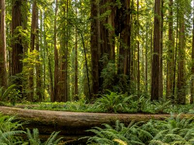Ewok Redwood Forest