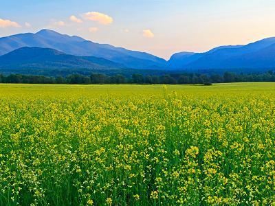 Canola Fields Adirondacks Panorama (Click for full width)