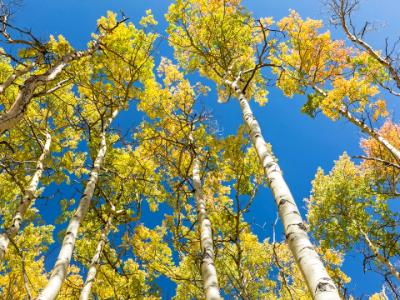 Colorful Aspen Leaves against Blue Sky