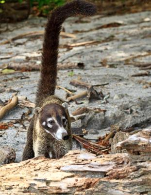 White-Nosed Coati with Long Tail