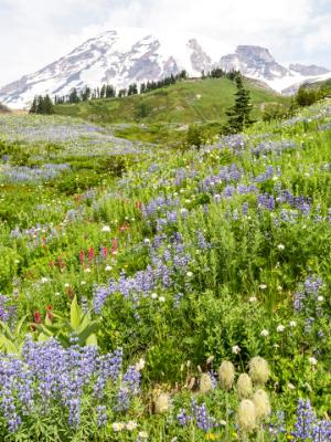 Pasqueflowers, Lupine and Magenta Paintbrush