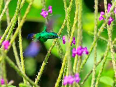 Hovering Steely-Vented Hummingbird