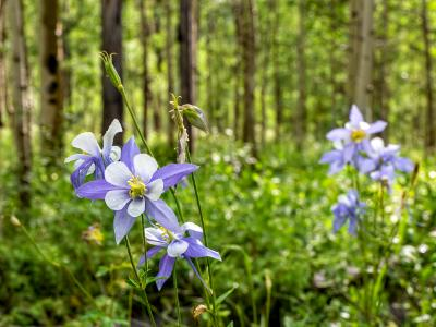 Colorado Columbines and Aspen Forest