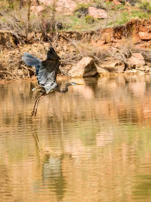 Blue Heron on the Colorado River